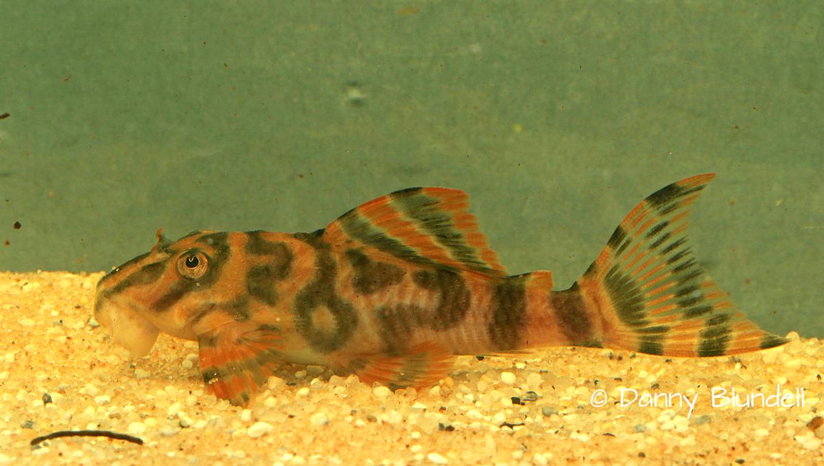 Peckoltia sp. L494