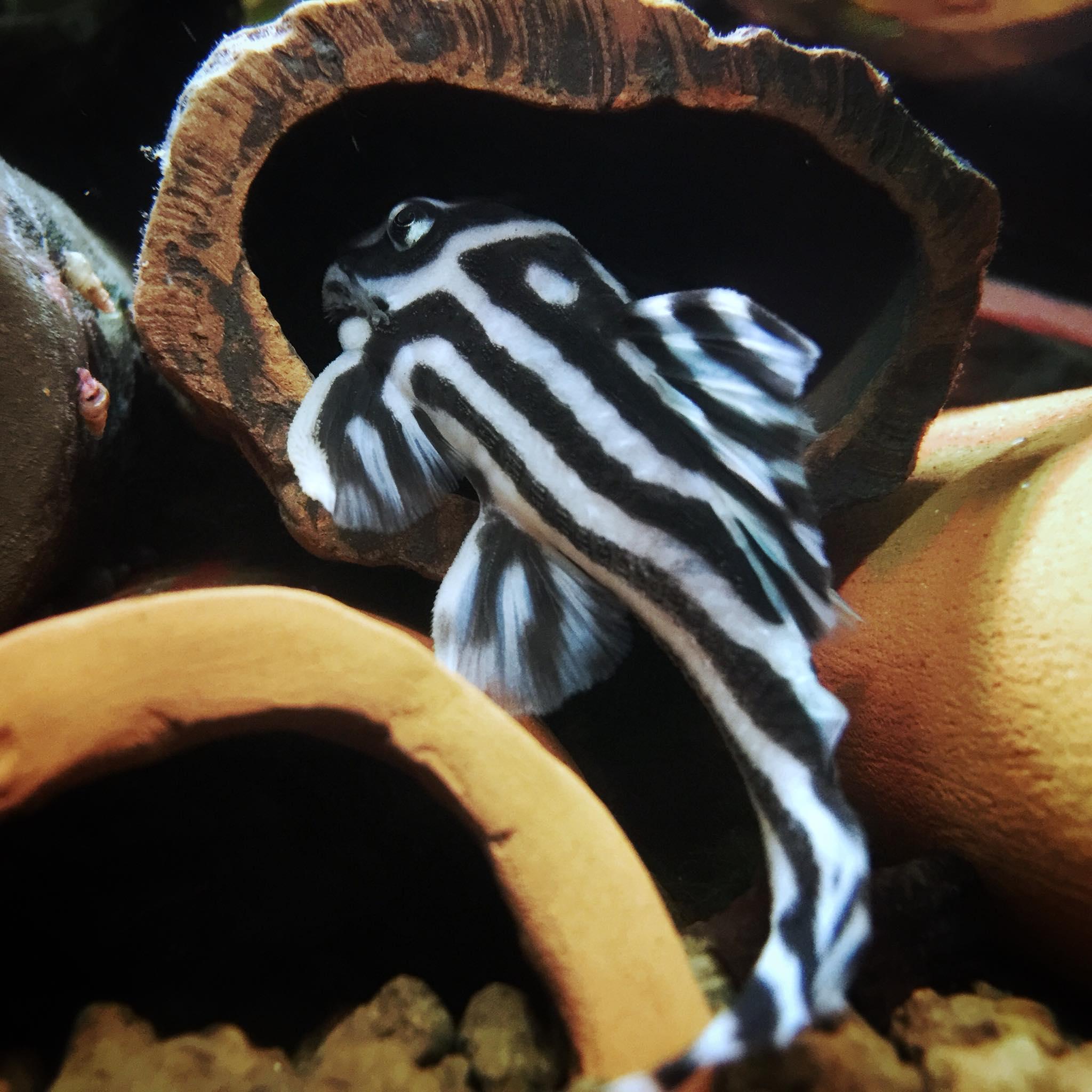Hypancistrus zebra L46