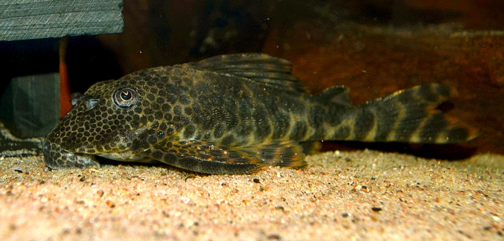 Ancistomus sp. L147