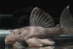 Spectracanthicus sp. L197