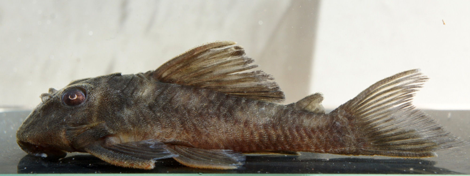 Hypancistrus sp. L70
