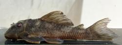 Hypancistrus sp. L70