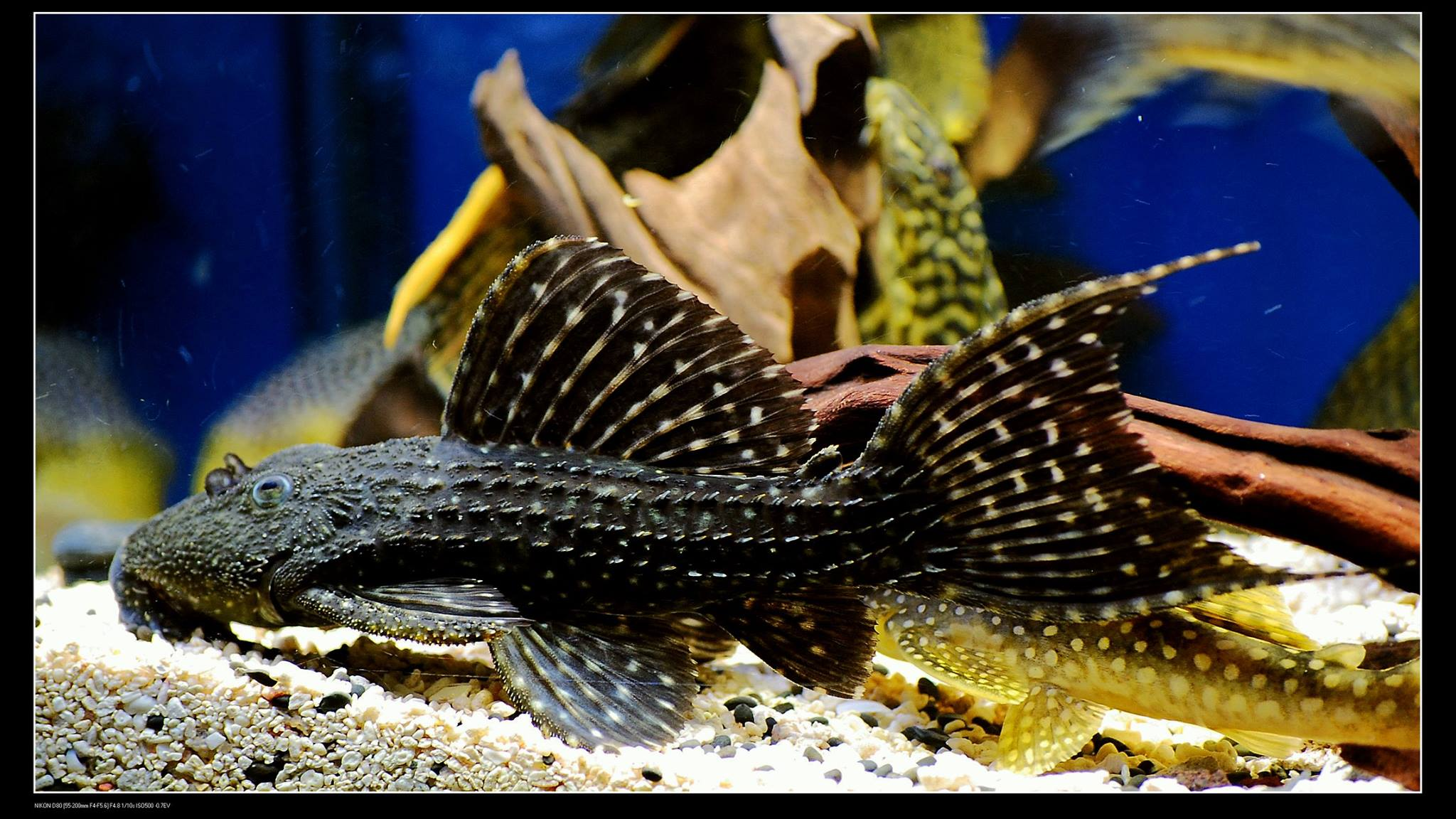 Pseudacanthicus sp. L97