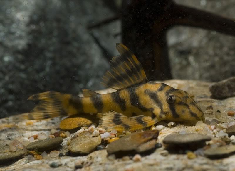 Peckoltia sp. L288