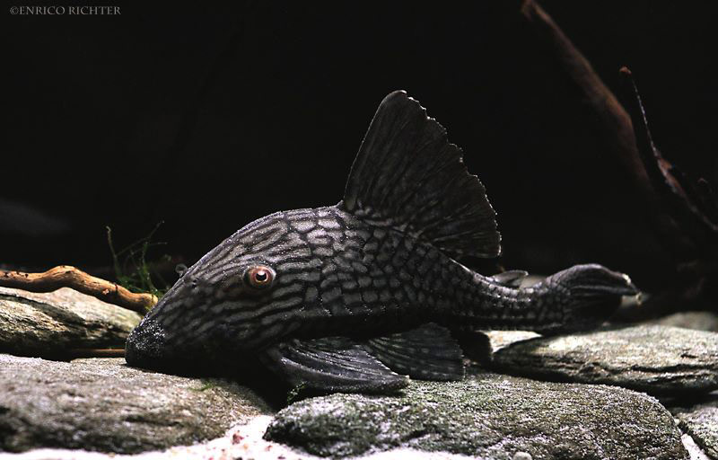 Panaque cf nigrolineatus L330