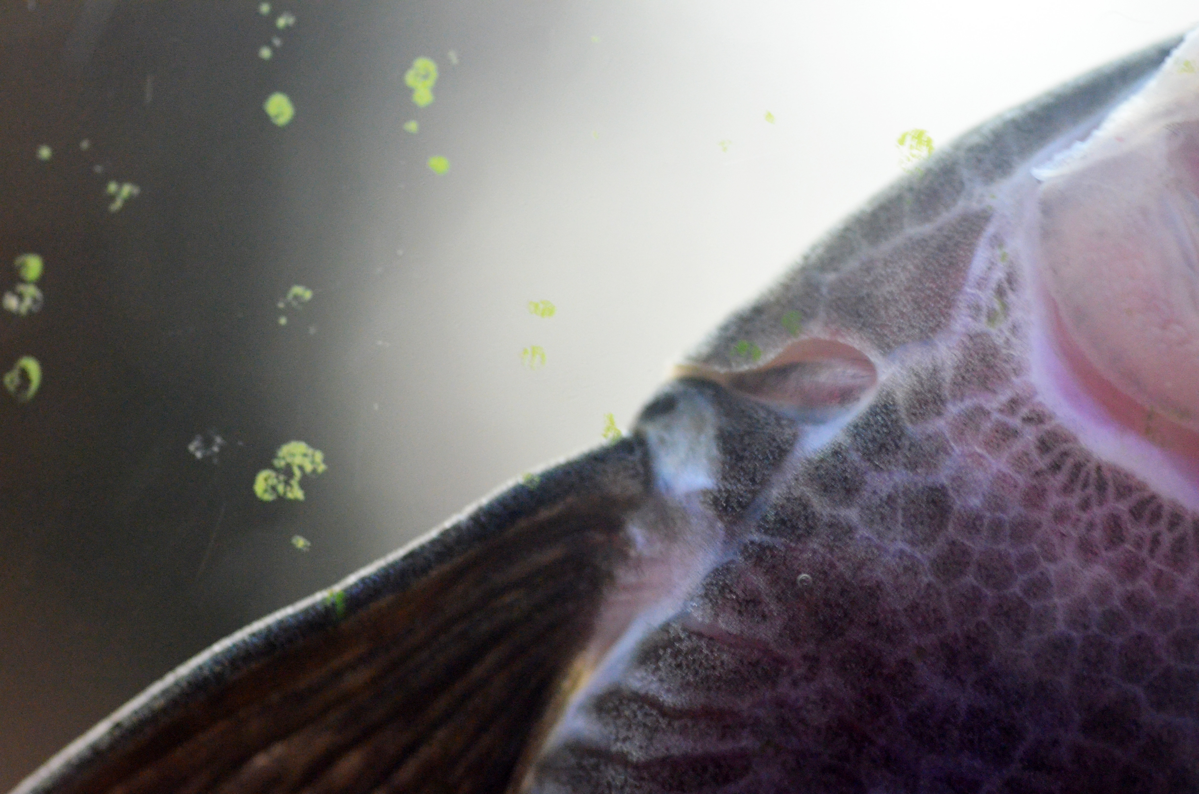 Pterosturisoma microps