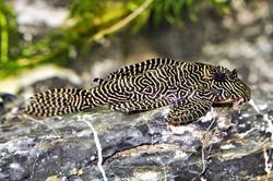 Hypancistrus sp. L260