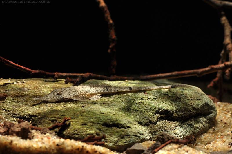 Hemiodontichthys acipenserinus
