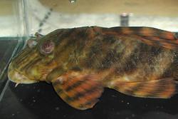 Panaqolus sp. L2