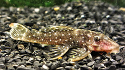 Spectracanthicus sp. L315