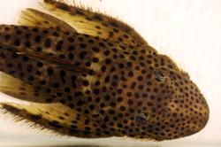 Pseudolithoxus dumus L244