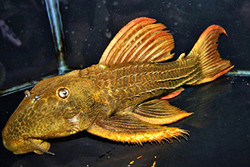 Pseudacanthicus pitanga L24