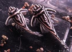 Hypancistrus zebra L46 female + male