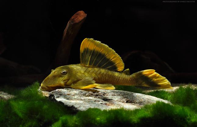 Baryancistrus chrysolomus L47