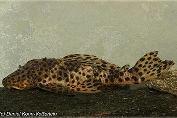 Leporacanthicus heterodon