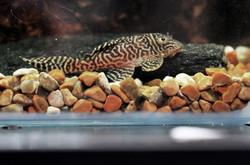 "Hypancistrus sp. L66 ""Lower Xingu"""