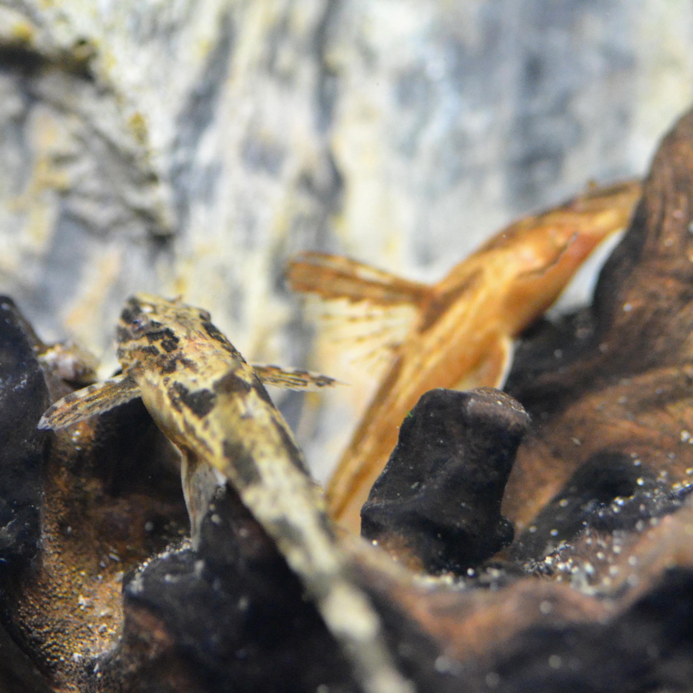 Leliella sp. L010a