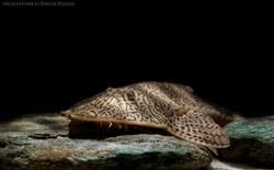 Pseudohemiodon apithanos