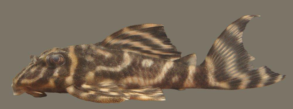 Hypancistrus sp. L475