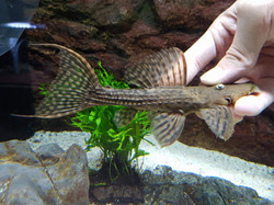 Pseudacanthicus sp. L79 JZX