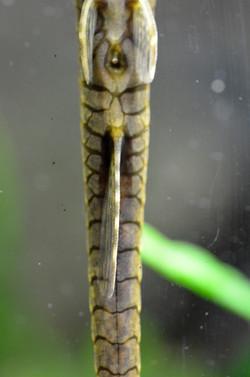 Farlowella platorynchus, male