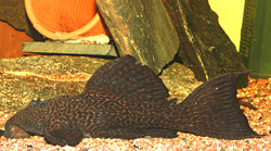 Pseudacanthicus sp. L185