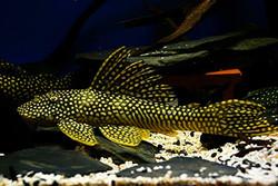 Scobiancistrus sp. L253