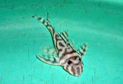 Hypancistrus sp. L173