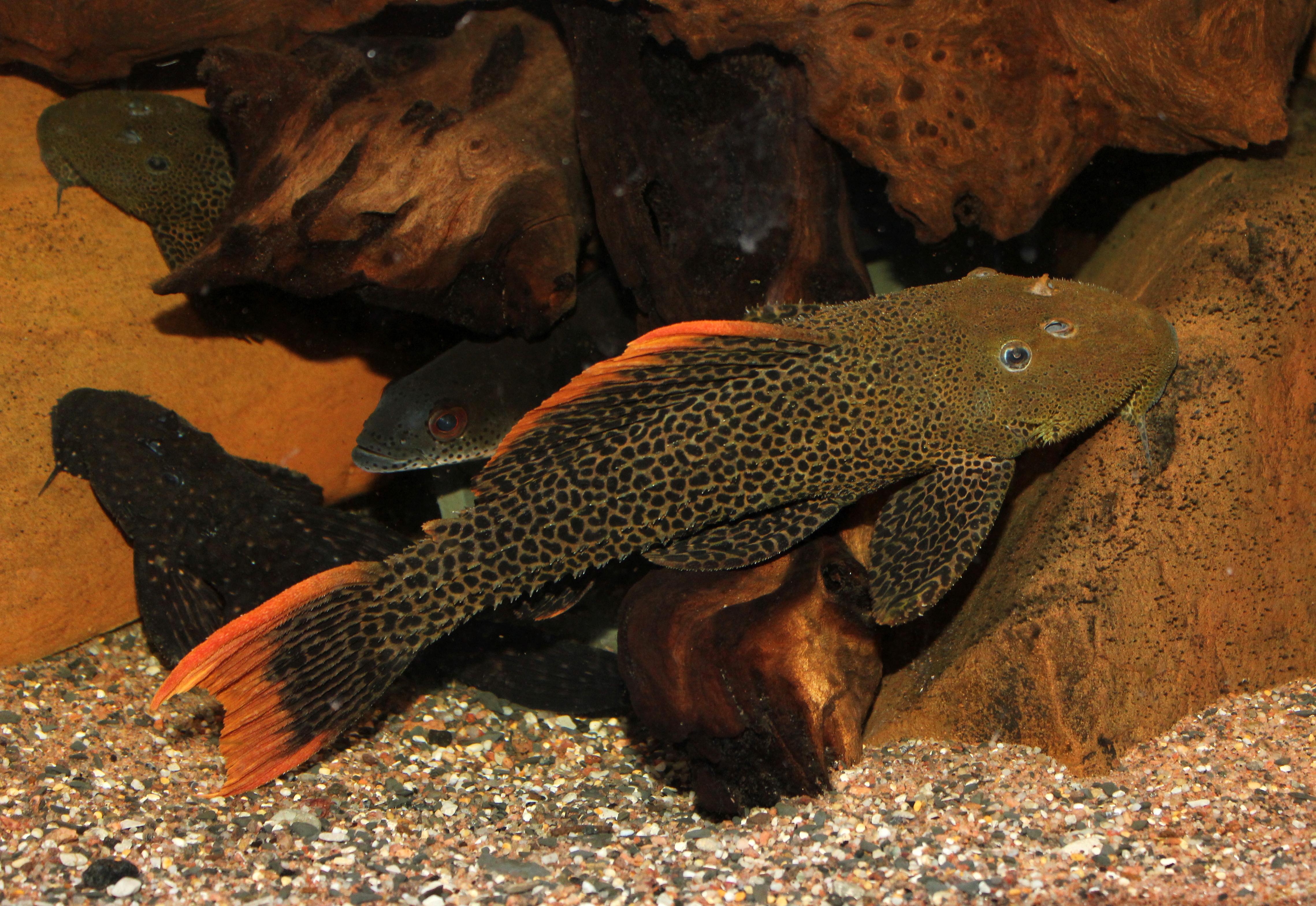 Pseudacanthicus leopardus L600