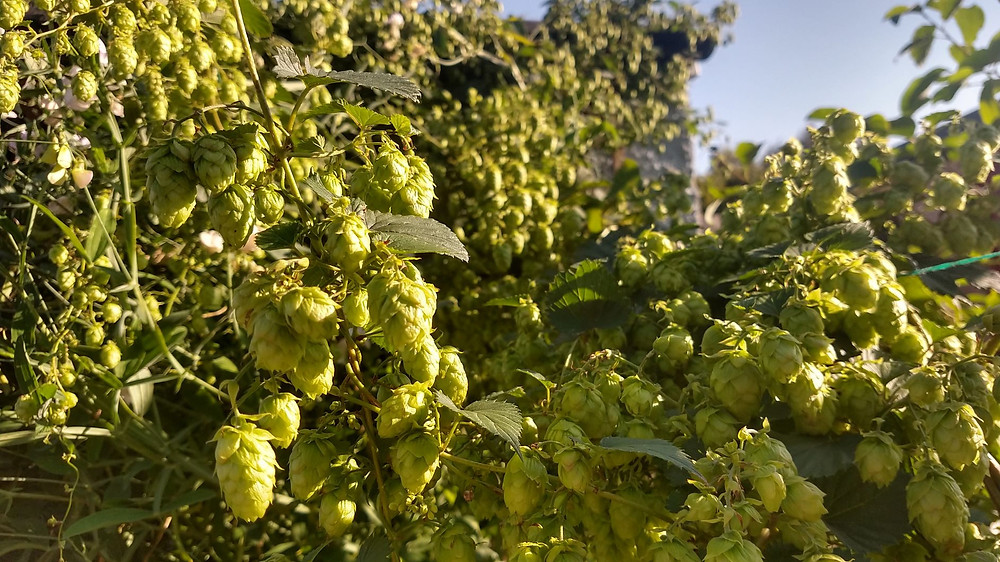 A soon-to-be harvested hop plant