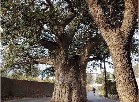 Broad as a Baobab Trunk: Lessons from Senegal