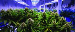 25012019_cannabis_N.jpg