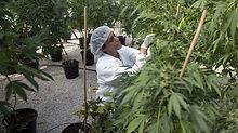 marijuana_wide-1bed947a4edc0921500ffb18e