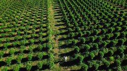 field-of-marijuana-plants-aerial-view-of