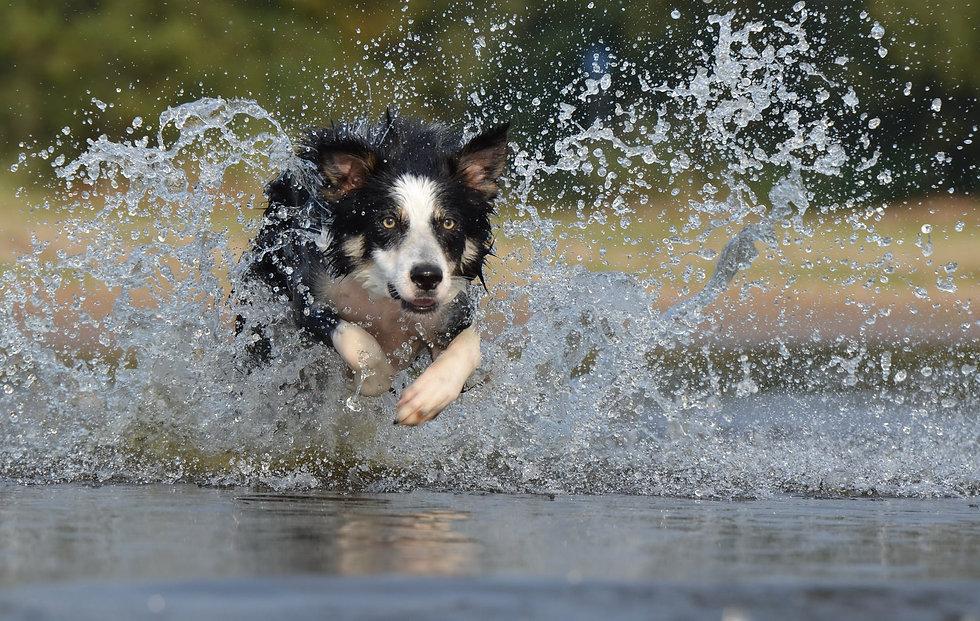 border-collie-jump-water-british-sheepdo
