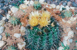cactusfleur5.1b