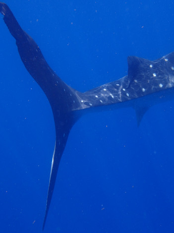 Tail detail of a Whale Shark