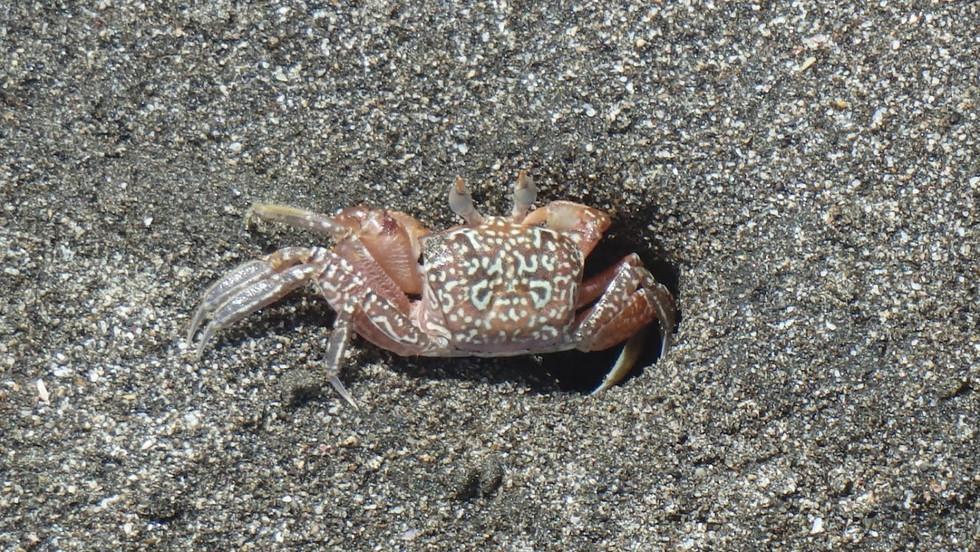 Matapalo Beach, Guanacaste: Crab
