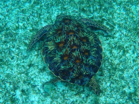 Snorkelling in the Maldives: Sea Turtle