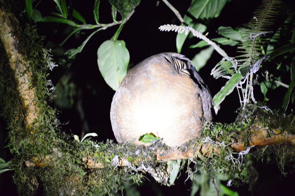 Bird sleeping with his head beneath his wings, Monteverde Cloud Forest, Costa Rica