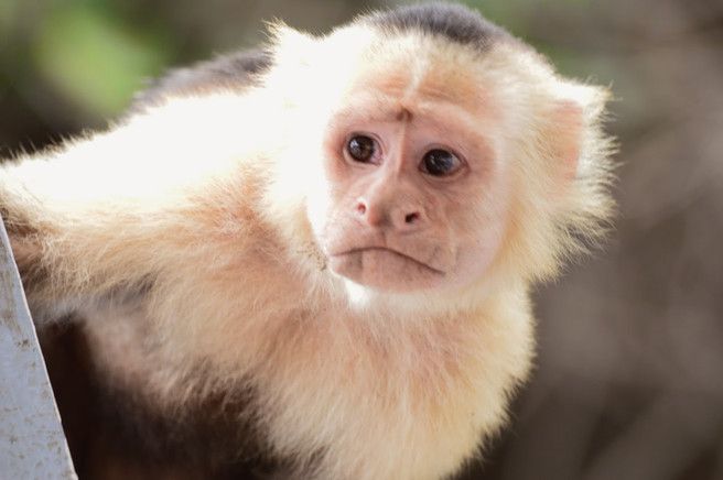 Palo Verde: White face Monkey