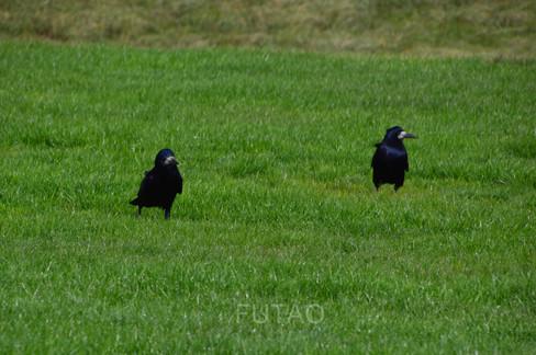 Birds near Stonehenge, Salisbury, Whiltshire, England