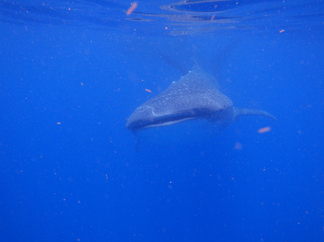 Whale Shark swimming towards the camera