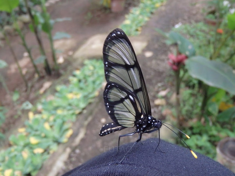 Butterfly on my shoulder, Butterfly Gallery, Mindo Cloud Forest, Quito, Ecuador
