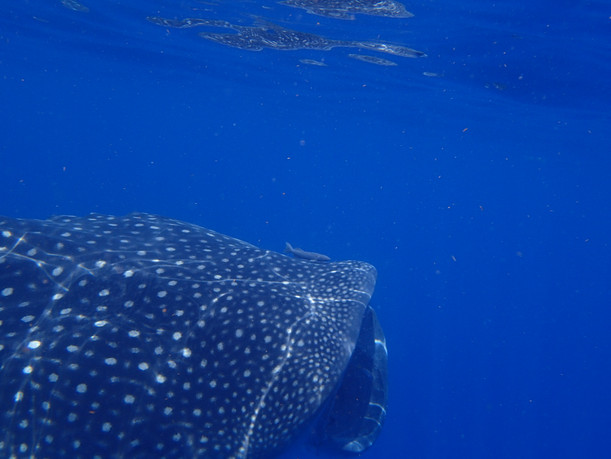 Top of head of a swimming Whale Shark