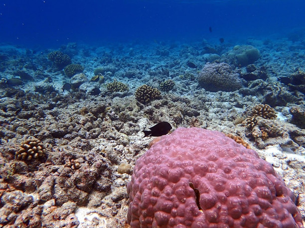 Snorkelling in the Maldives: Coral