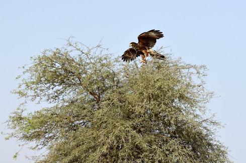 Tomahawk, a harris hawk, decided to go off track