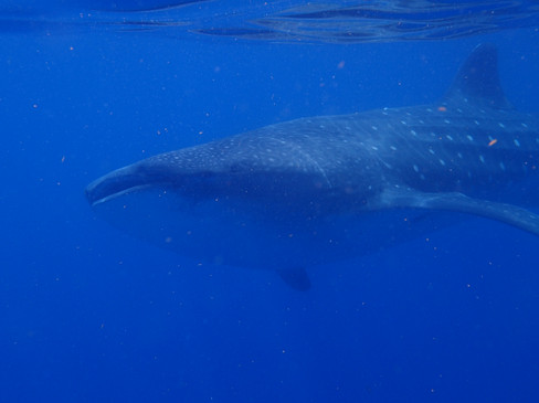 Whale Shark swimming front forward