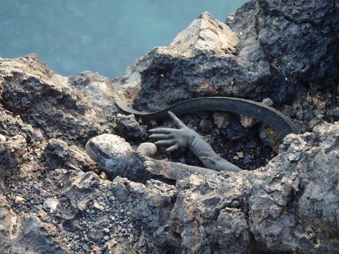 Marine Iguana off of the white tipped reef shark canal, Isabela Island, Galapagos