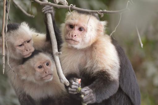 Palo Verde: White face Monkeys